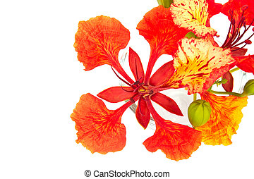 Closeup Pride of Barbados, Isolated on white