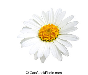 one camomile isolated on white background
