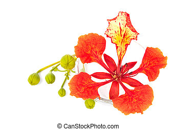 Closeup Pride of Barbados, Isolated on white Background