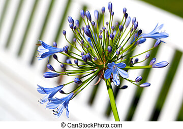 Agapanthus, Africanus, flores, (African, lily)