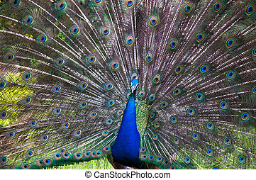 Peacock Spread tail-feathers - shooting