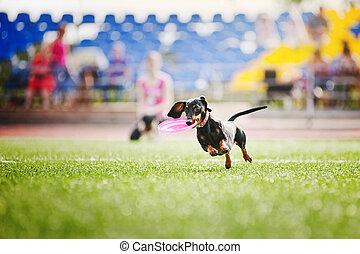 dachshund dog brings the flying disc - funny dachshund dog...