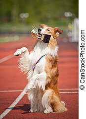 border collie dog wins - border collie dog with medal and...