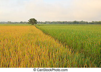 The rice fields in Thailand.