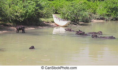 Cows in the river
