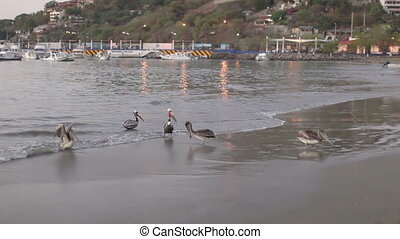 Brown pelicans by the water's edge at sunrise waiting for...