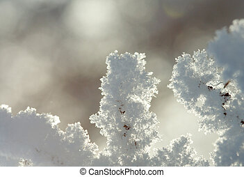 hoarfrost - Dry plant covered with hoarfrost.