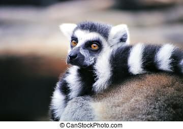 Ringtailed lemur (Lemur catta) - A ring-tailed lemur (Lemur...