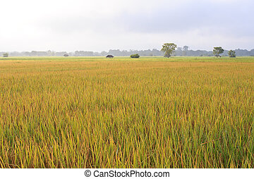 The rice fields in Thailand