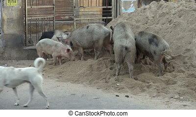 dirty pigs group in street, Jaipur,