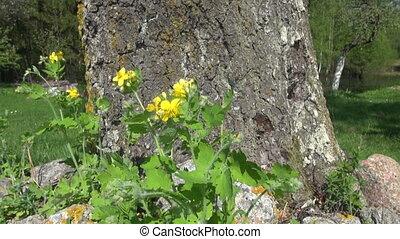 blooming celandine medical herb