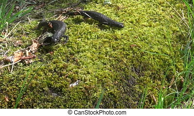 two Great Crested Newt (Triturus)