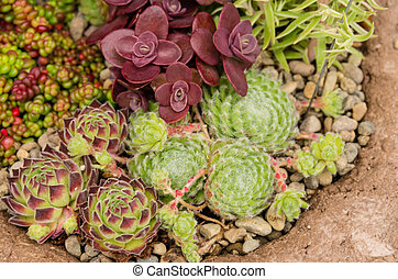 Sedum plants used for green roof applications - Sedum and...