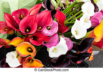 Bright flowering calla lily blooms - Calla lily flowers in...