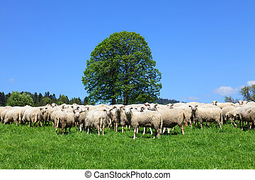 Flock of sheeps
