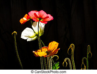 Colored Poppies in Silhouette