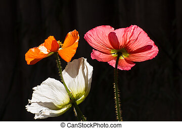Three Poppies in Evening Light - Three Colored Poppies in...