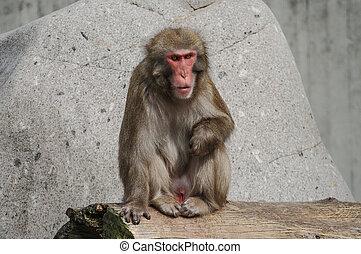 Rhesus macaque in Heidelberg Zoo, Germany