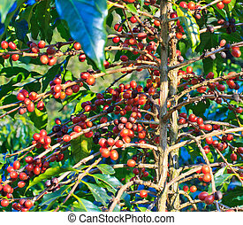 Coffee trees