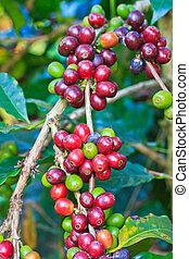 café, árvores