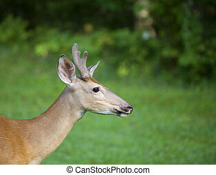 Deer profile - Profile photo of a whitetail deer buck with...