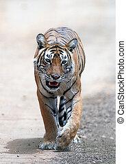 Bengal tiger running Panthera tigris