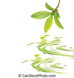 Bay Leaf Beauty - Bay leaf herb sprig reflected over rippled...