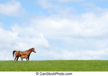 Horse and Foal - Horse with foal suckling in a field in...
