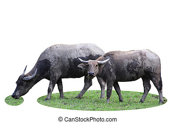 Buffalo with white background