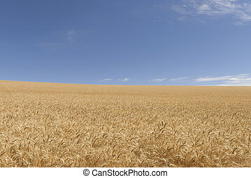 agriculture - a ripened wheat crop and clouds in sky