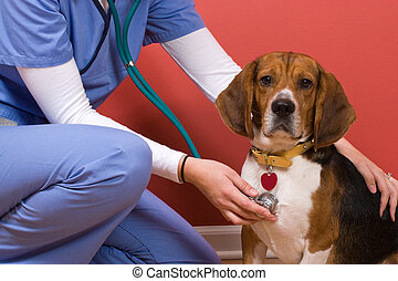 Vet Checkup - A veterinarian checking out a beagle dog