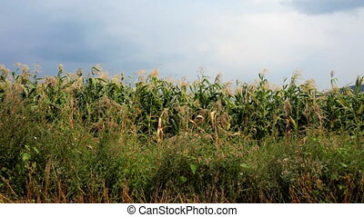 view of a cornfield with moody sky in background