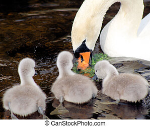 Swan With Her Young - New baby swans watch their mother as...