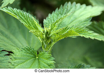 Detail of a stinging nettle plant