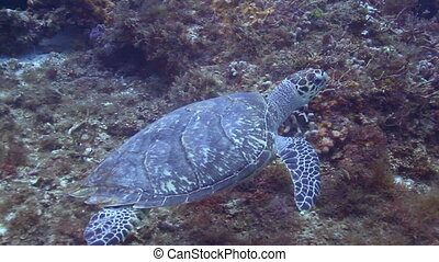 the loggerhead turtle filmed underwater whilst scuba diving...