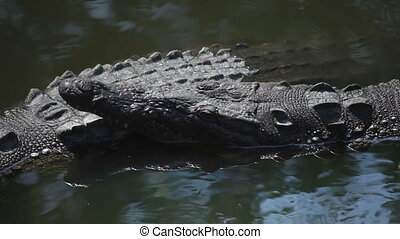 crocodiles in a river