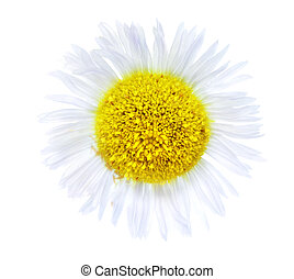 Single camomiles isolated on a white background.