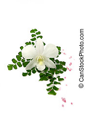 Single white orchids flower on Adiantum fern leaves.