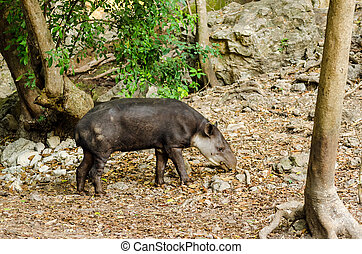 Tapir - View of a tapir in Chiapas, Mexico