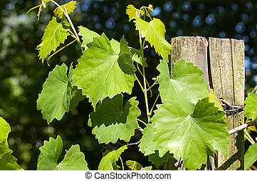 Grape Vines Growing on Wire and Post - Closeup of grape vine...