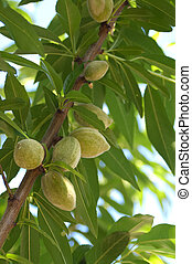 Almond Tree - Young almond nuts growing on almond tree in...