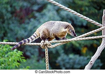 South American Coati, nasua nasua, ring-tailed coati from...
