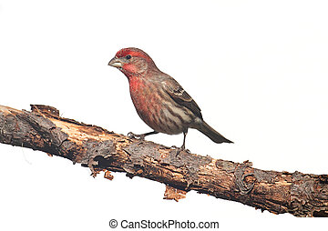 Male House Finch (Carpodacus mexicanus) on white - Male...