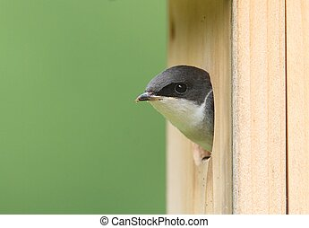 Tree Swallow on a Birdhouse - Tree Swallow tachycineta...