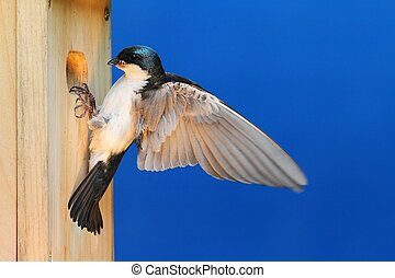Tree Swallow on a Birdhouse - Tree Swallow (tachycineta...