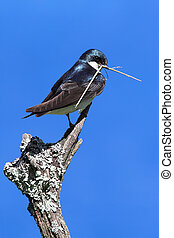 Tree Swallow on a stump with nesting material - Tree Swallow...