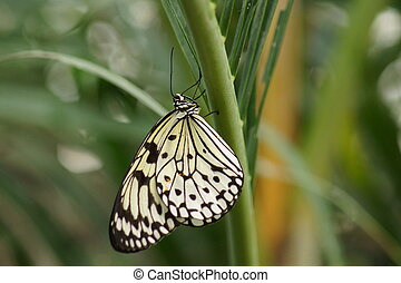 Paper Kite - Idea leuconoe - A Beautiful Paper Kite - Idea...