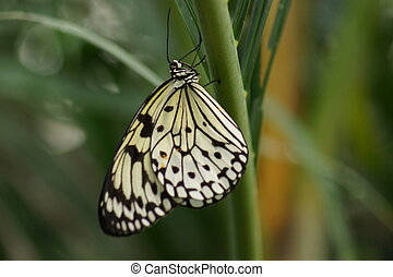 Paper Kite - Idea leuconoe - A Beautiful Paper Kite - Idea...