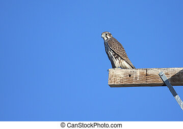 Prairie Falcon (Falco mexicanus) on a perch against a blue...