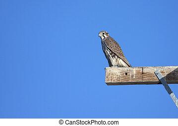Prairie Falcon (Falco mexicanus) on a perch against a blue...